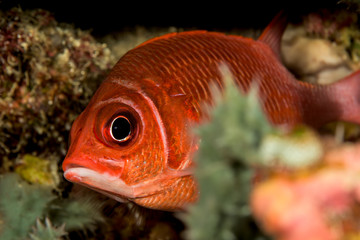 dwarf squirrelfish fish
