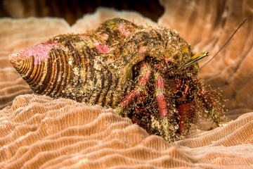 hairy netted hermit crab