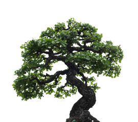 isolated single bonsai tree