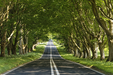 road through a beech tree tunnel in the sun in Dorset, England
