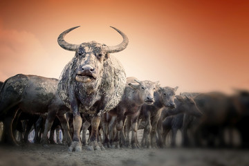 close up picture of buffaloes at the field with golden sky