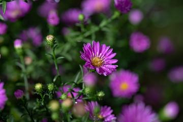 雨に濡れたクジャクソウの花