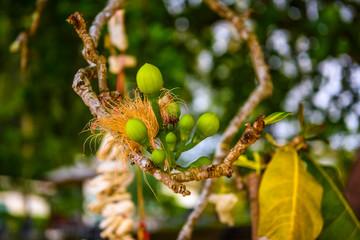 Smal green young frutis on tree branch macro, White Sand Beach K