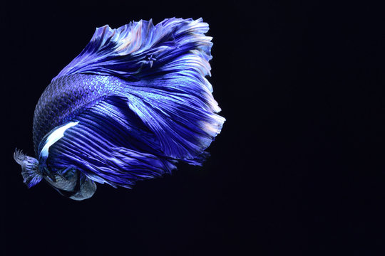 Super blue Betta Siamese fighting fish. The head is white and inserted in red. Fins and tail like long skirts, half moon tail, perfect fish elegance. Fish that are native to Thailand.Fight to compete.