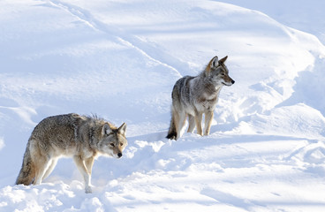 Two Coyotes (Canis latrans) isolated on white background walking and hunting in the winter snow in Canada