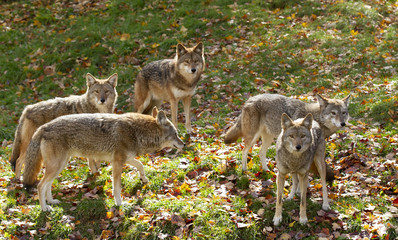 Coyotes (Canis latrans) standing in a grassy green field in autumn in Canada
