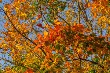 Beautiful autumn maple with big yellow, orange and green leaves – magnified details of a tree on a background of clear blue sky on a Sunny day