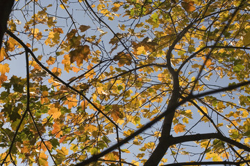 Beautiful maple branches with yellow, orange and green leaves – photo of the tree up against the blue clear sky on a Sunny day