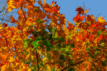 Beautiful autumn maple with big yellow, orange, red and green leaves – magnified details of a tree on a background of clear blue sky on a Sunny day