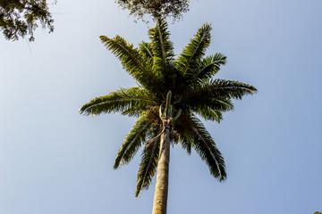 royal palm tree very popular in brazil