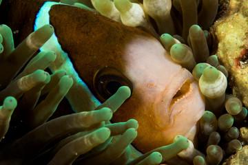 clark's anemonefish fish