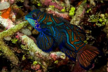 beautiful mandarinfish fish