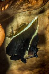 phantom bannerfish fish