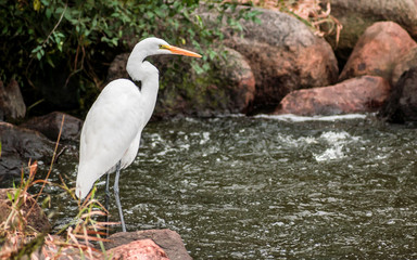 A close portrait of great heron capturing fishes from a river