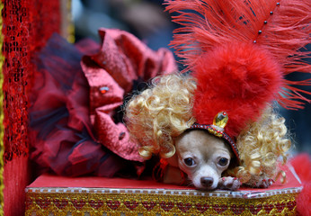 A Chihuahua puppy dressed like a Moulin Rouge dancer rests during an activity for World Animal Day at Eastwood Mall, Quezon City