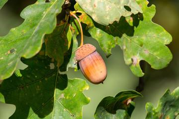 Acorn in green oak leaves, close up photo