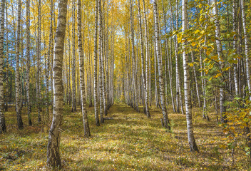Beautiful autumn landscape: yellow birches and blue sky