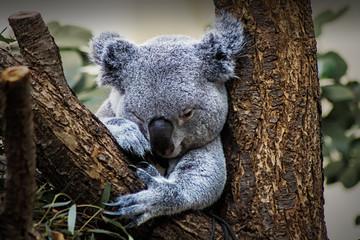 Koala Bär, Schönbrunn, Tierpark Schönbrunn, Wildtiere,