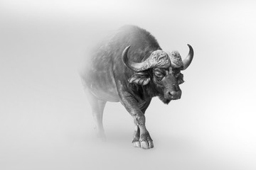 Tuinposter Buffel buffalo isolated on white background one of the big 5 animals of africa