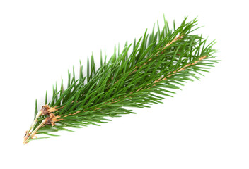 Conifer  tree branch isolated. Nature Symbol of Christmas and New Year on white background.