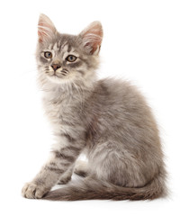 Small gray kitten.