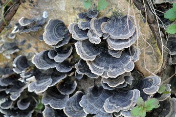 Trametes versicolor or turkey tail fungus covering a stump