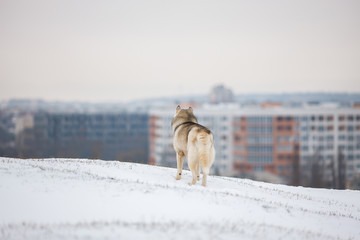 Gray Siberian Husky stands in the snow and looks at the snowy city. Thoughtful dog