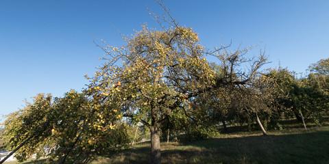 Apfelbäume gelb