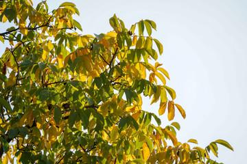 Gelbe und grüne Blätter im Herbst
