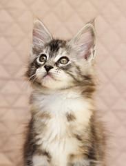 Maine Coon kitten looks
