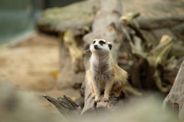 meerkat is a panic animal