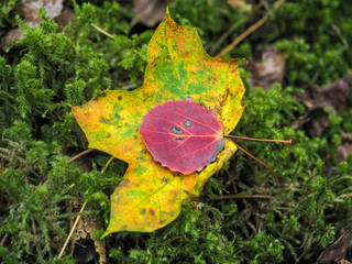 Maroon colored beech leaf on maple leaf, over a bed of fresh green moss at autumn on forrest floor