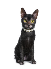 Adorable black Lykoi cat kitten girl sitting front view wearing pearls / a pearl necklace looking straight at lense with bright yellow eyes, isolated on white background