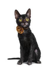 Adorable black Lykoi cat kitten girl sitting front view wearing a brown leather flower / rose necklace looking up with bright yellow eyes, isolated on white background