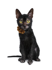 Adorable black Lykoi cat kitten girl sitting front view wearing a brown leather flower / rose necklace looking straight at camera with bright yellow eyes, isolated on white background