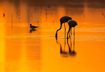Greater Flamingos feeding at  sunset, Bahrain