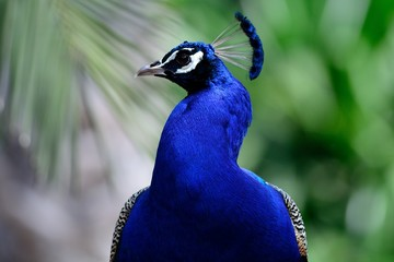 Head shot of a blue peacock (pavo cristatus)