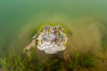Wall Mural - Common Snapping Turtle Underwater in Muddy Pond
