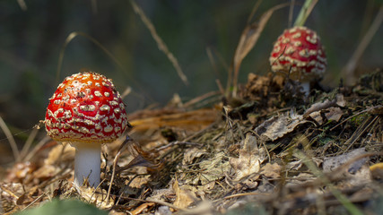 Amanita muscaria fly agaric red mushrooms with white spots in grass