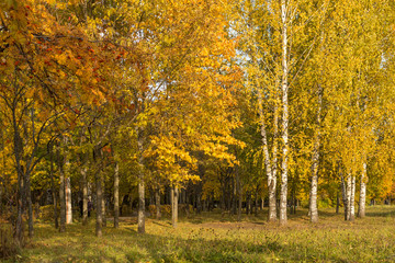 Gold Autumn. Beautiful trees in the forest, park