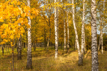Gold Autumn. Beautiful trees in the forest, park landscape
