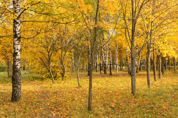 Autumn trees and leaves in park. Golden fall