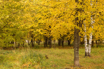 Autumn. Gold Trees and leaves in a park