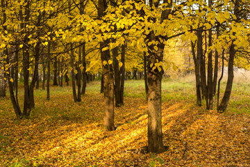 Autumn trees and leaves. Golden fall
