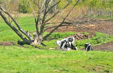 Cows by Dead Tree