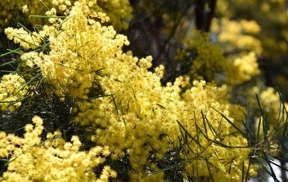 Acacia pycnantha, commonly known as the Golden Wattle, is Australia national flower and commonly known as Acacias. Blossoming of mimosa tree.