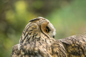 Image of: Wikipedia Portrait Of Long Eared Owl Asio Otus Beige Black And White Owl With Fotoliacom Search Photos