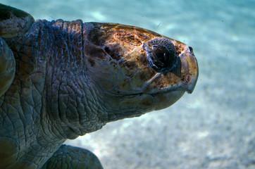 giant sea turtles