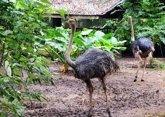 The ostrich (Struthio camelus) is a species of large flightless birds