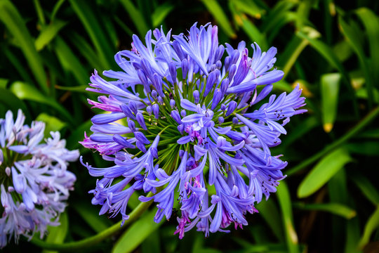 Agapanthus praecox (Lily of the Nile) azure blossom